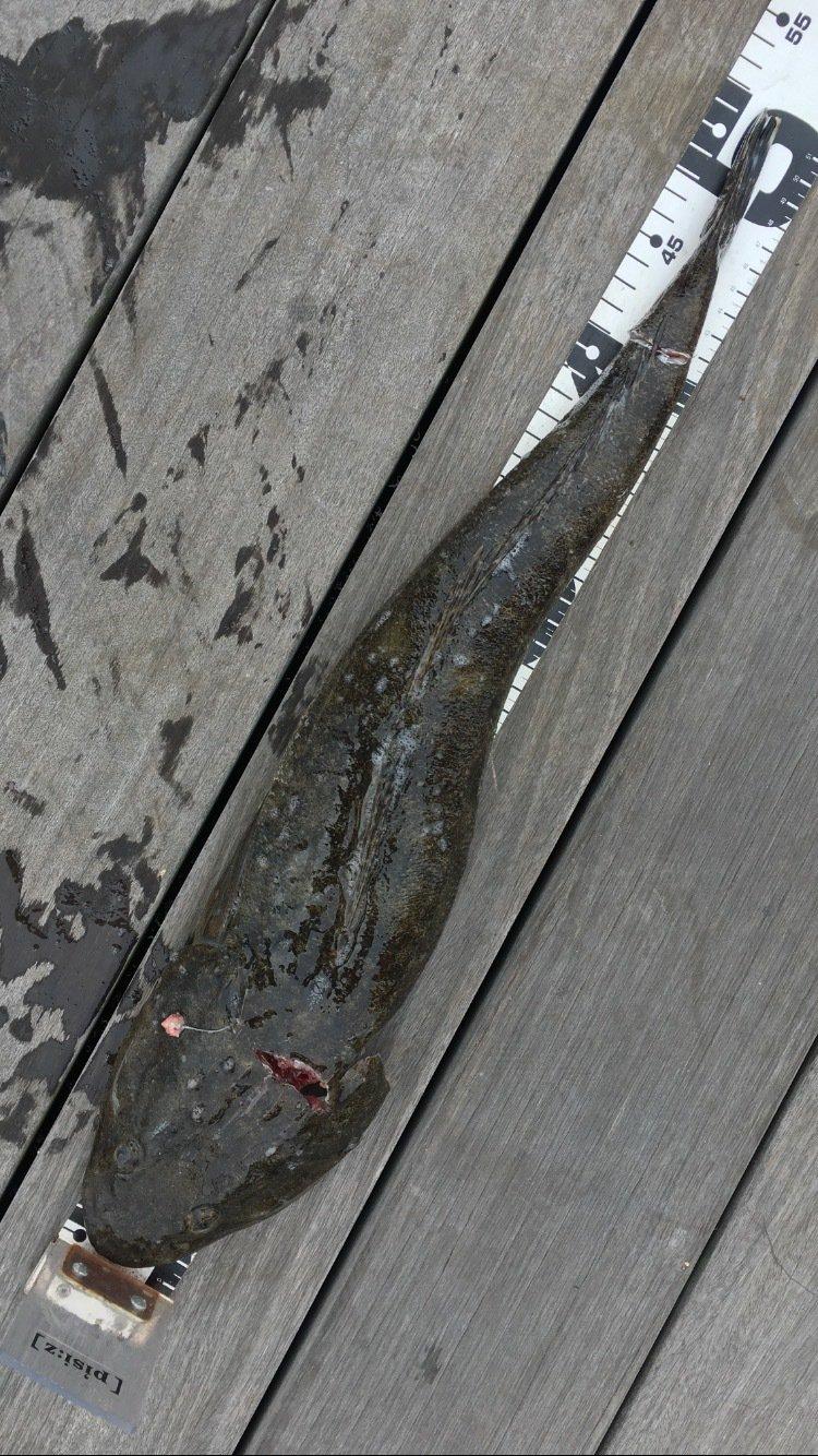 くんくんさんの投稿画像,写っている魚はコチ