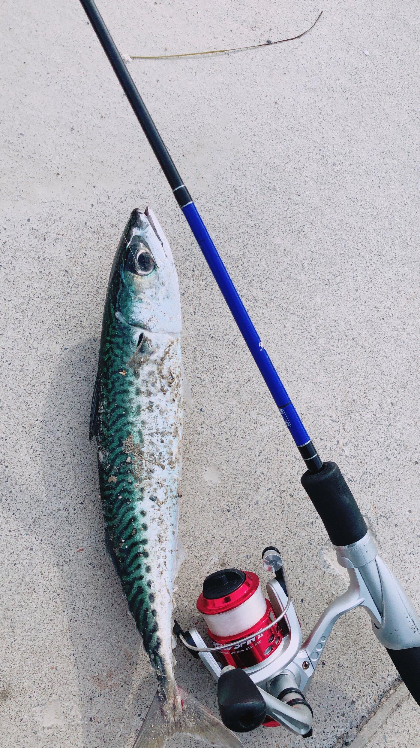 しげるさんの投稿画像,写っている魚はマサバ