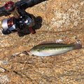 風来のモンドさんの兵庫県でのキュウセンの釣果写真