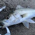 NCMさんの新潟県阿賀野市での釣果写真