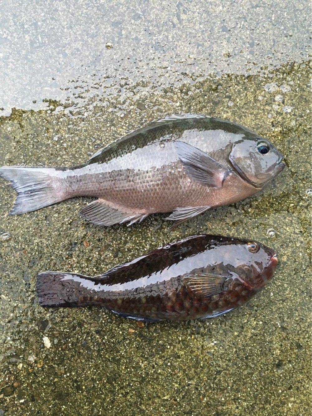 TKTさんの投稿画像,写っている魚はメジナ