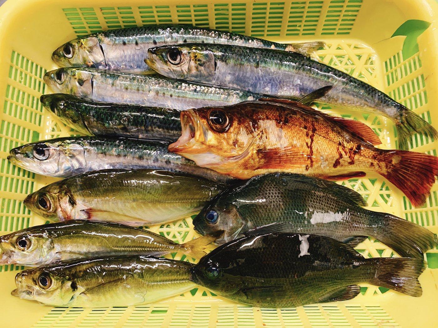 そらじろうさんの投稿画像,写っている魚はマイワシ,メバル,アジ,メジナ