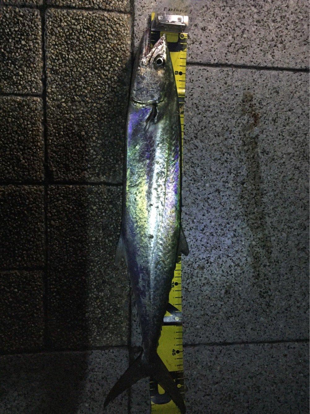 denさんの投稿画像,写っている魚はサワラ