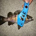 ともさんの兵庫県でのメバルの釣果写真