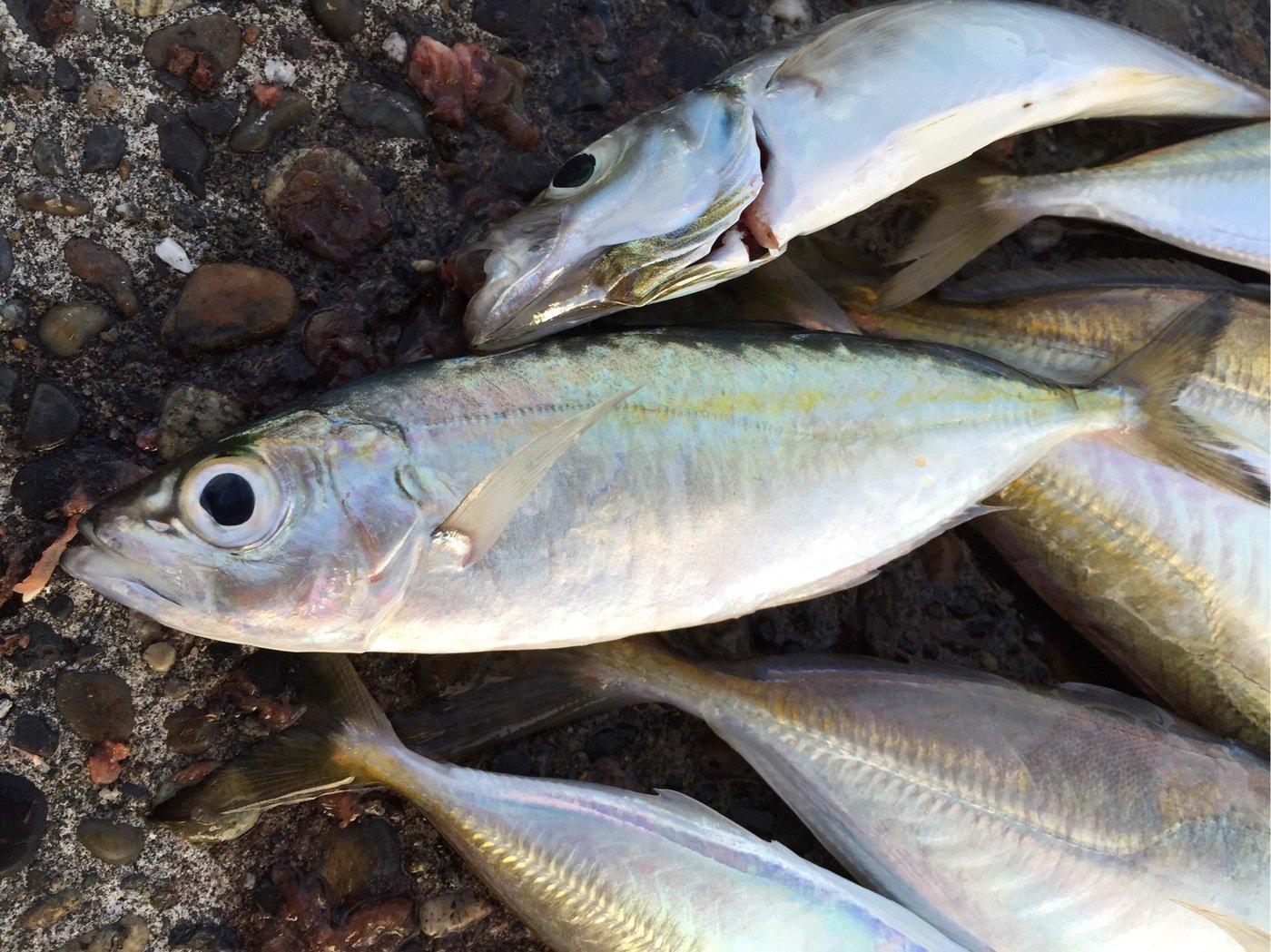 釣りキチ三瓶で〜すさんの投稿画像,写っている魚はアジ