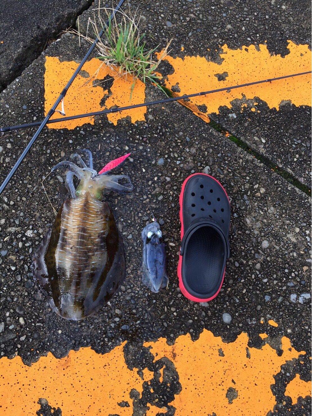 こーすけさんの投稿画像,写っている魚はアオリイカ
