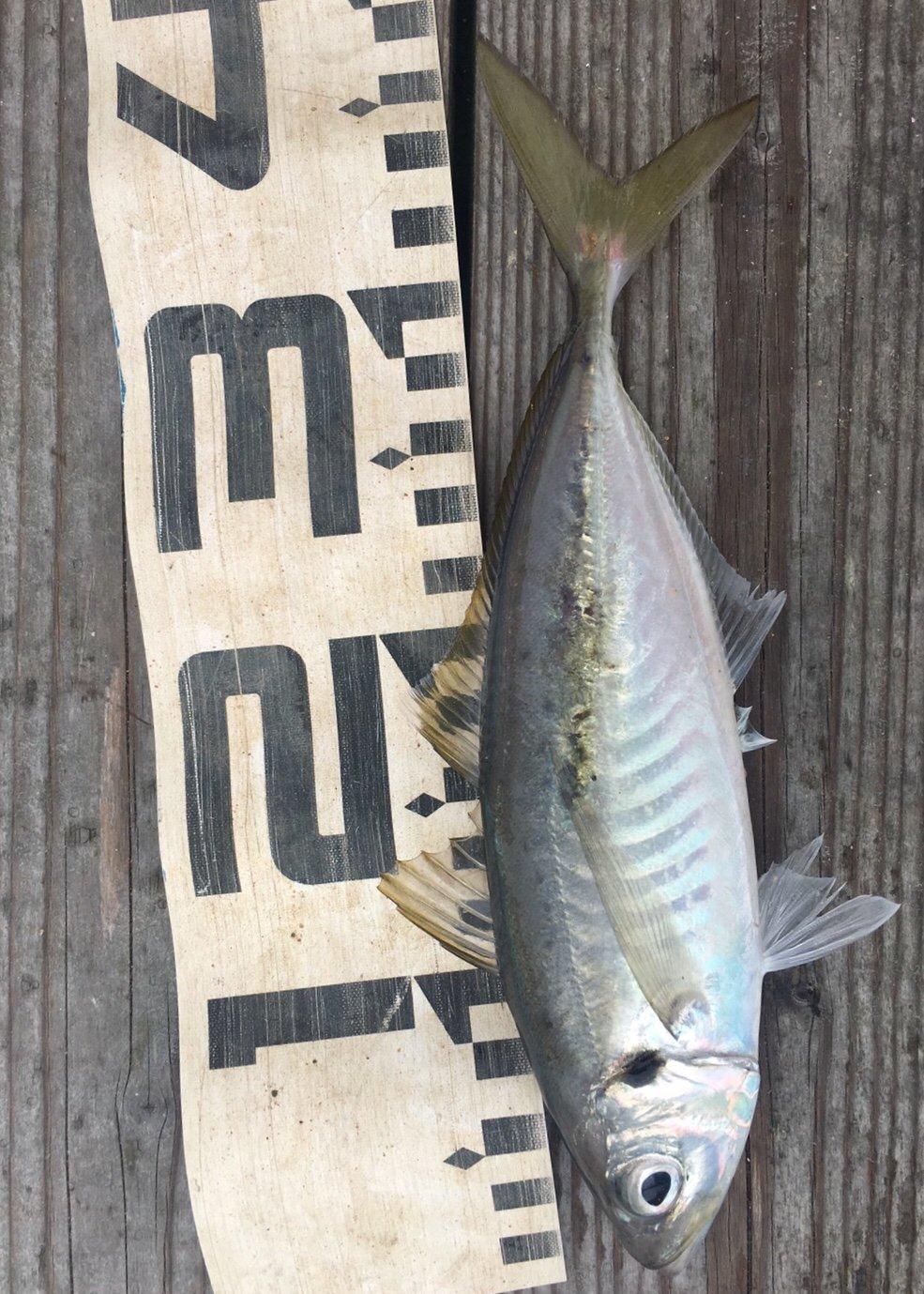 カズさんの投稿画像,写っている魚はアジ