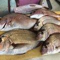 たかさんの三重県鳥羽市での釣果写真