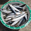 解体屋のサンジマン さんの秋田県秋田市での釣果写真