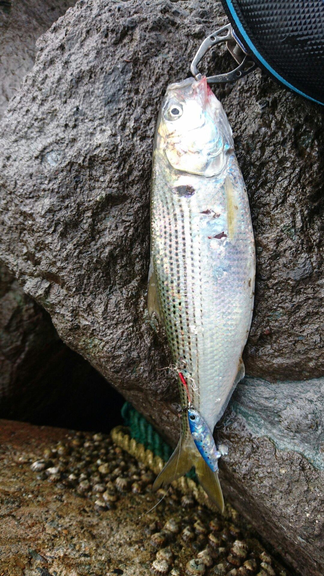 ブラックさんの投稿画像,写っている魚はコノシロ