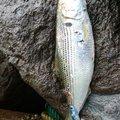 ブラックさんの石川県白山市での釣果写真