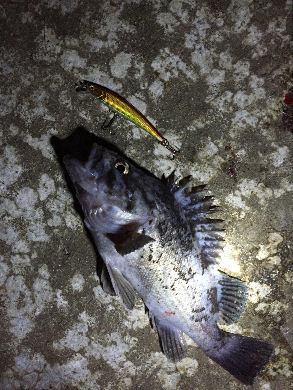 さっちゃんパパさんの投稿画像,写っている魚はクロソイ