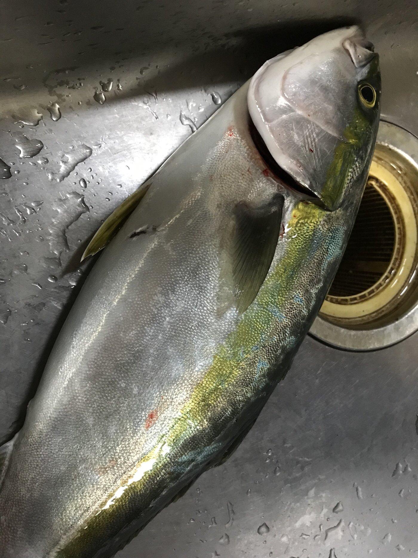 いっこさんの投稿画像,写っている魚はワラサ