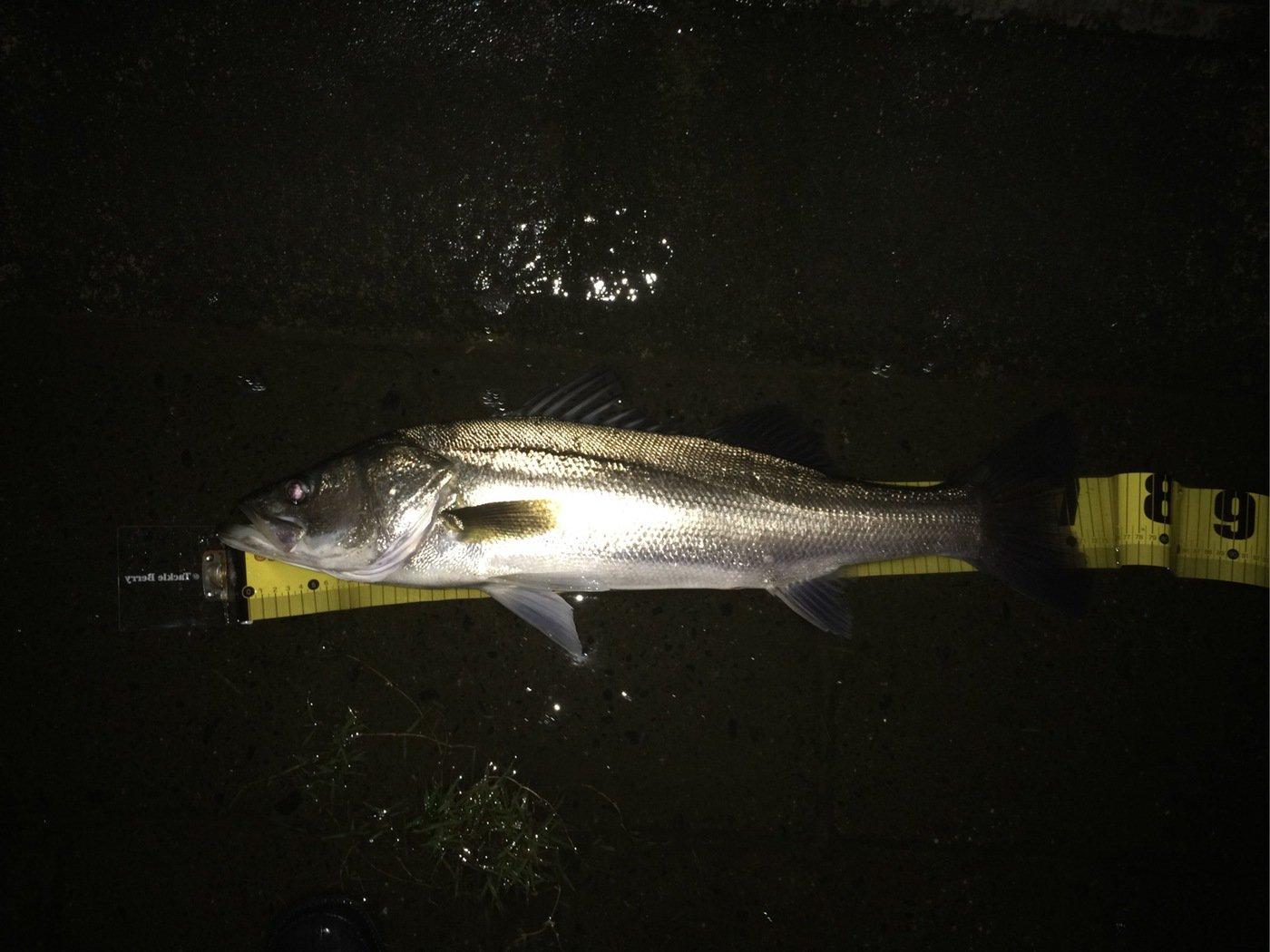 釣坊主さんの投稿画像,写っている魚はスズキ