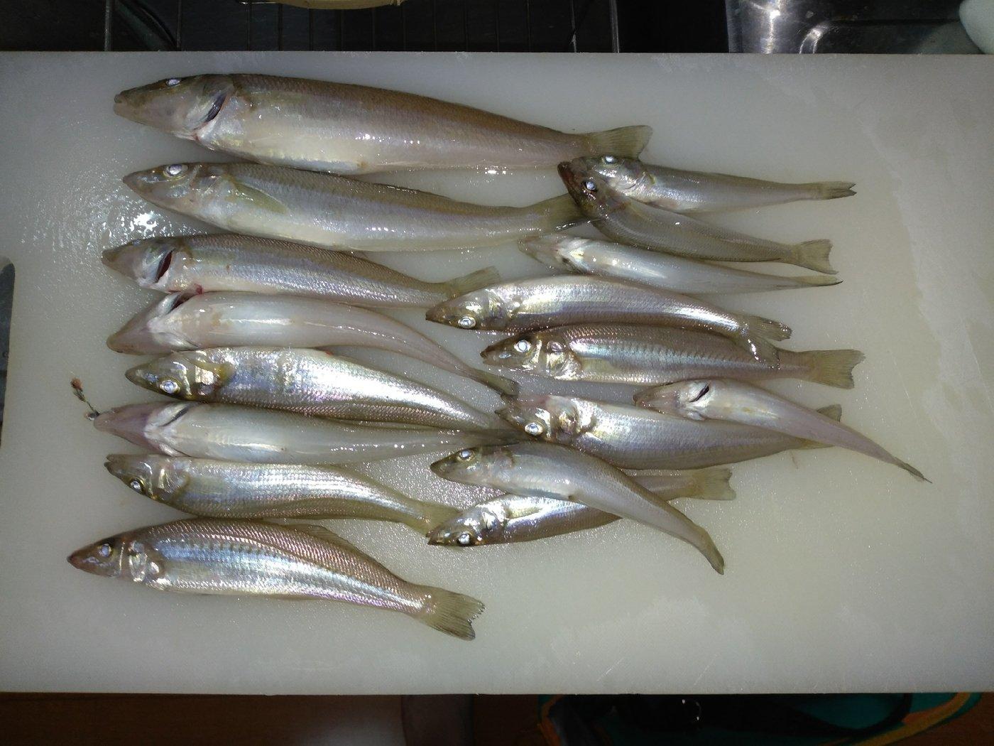 大漁さんの投稿画像,写っている魚はシロギス
