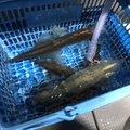 たかさんの福井県敦賀市での釣果写真