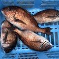 たかさんの三重県北牟婁郡での釣果写真