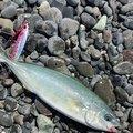 kiyo piroさんの静岡県沼津市での釣果写真
