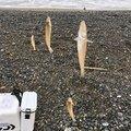 イーグルさんの石川県加賀市での釣果写真