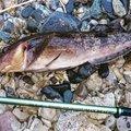 tatsukiさんの宮城県本吉郡でのアイナメの釣果写真