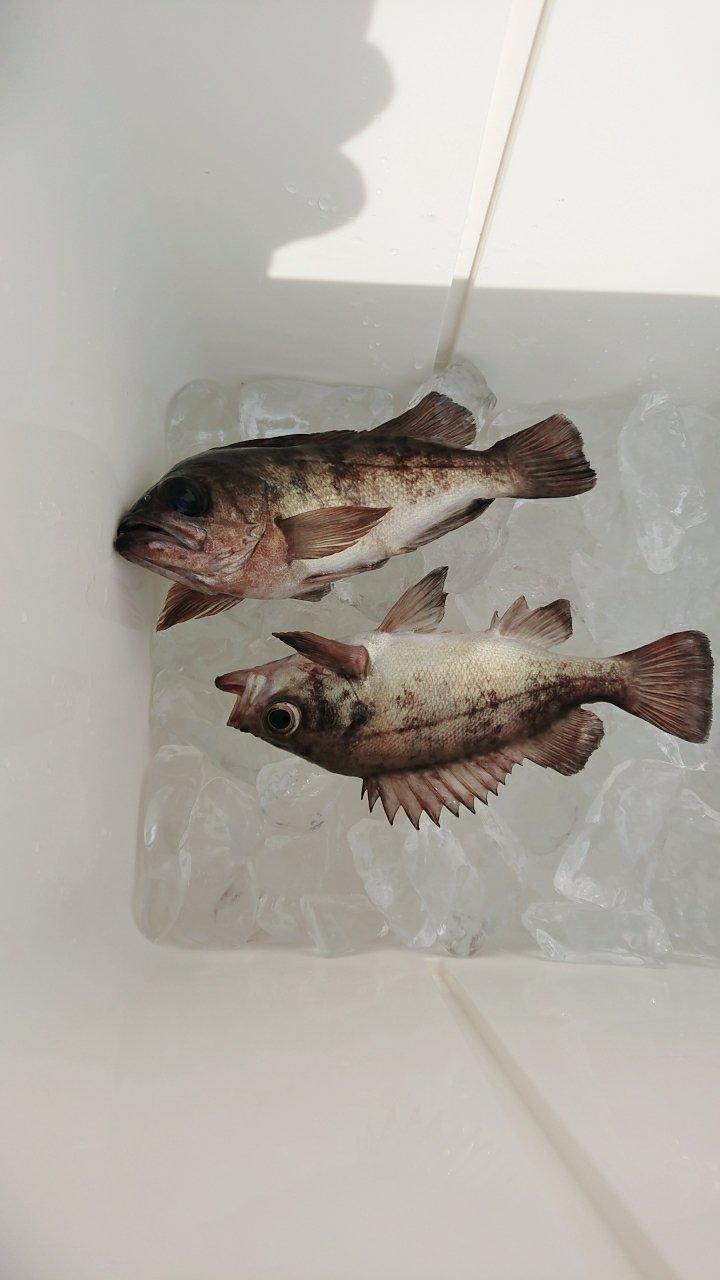 ハタヤミーさんの投稿画像,写っている魚は