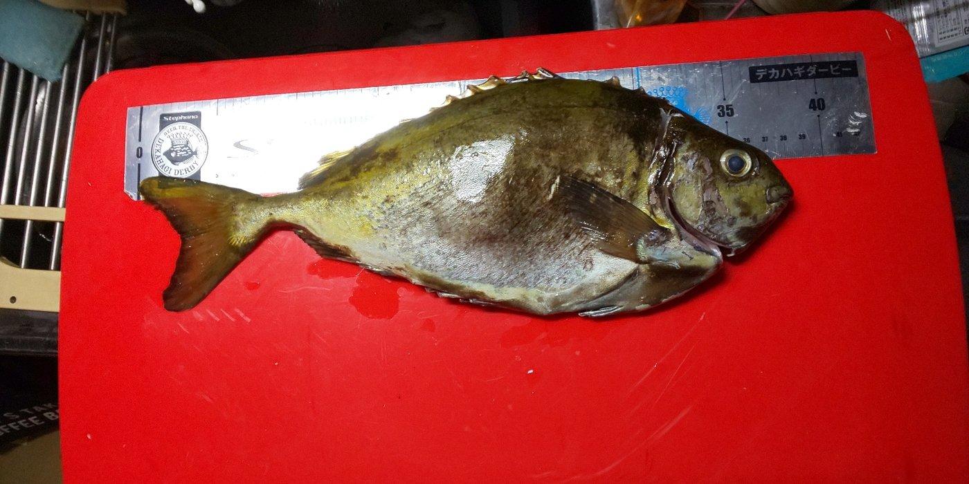 森山昇さんの投稿画像,写っている魚はアイゴ