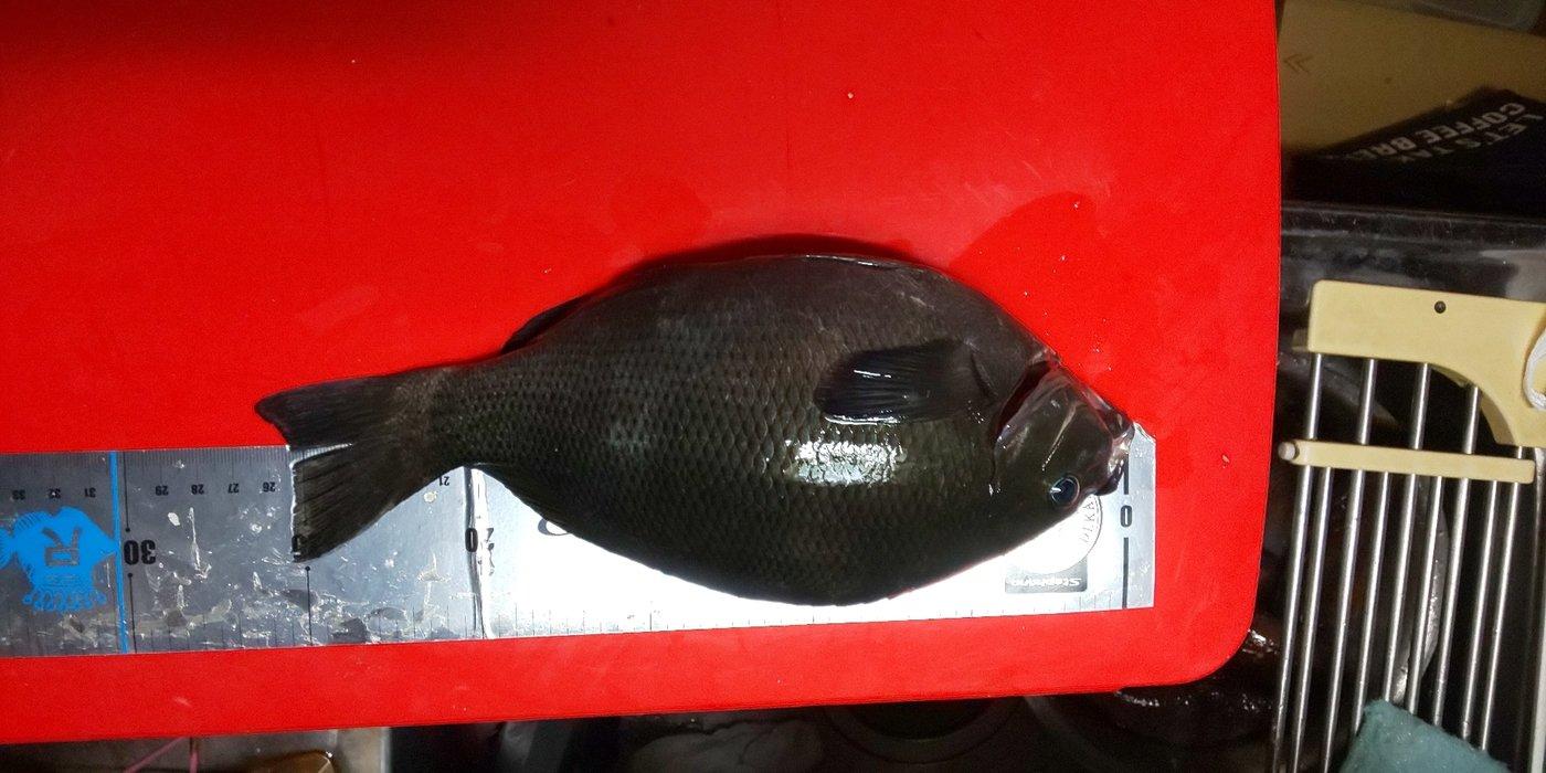 森山昇さんの投稿画像,写っている魚はクロメジナ