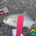 すぐるんるんさんの静岡県沼津市での釣果写真