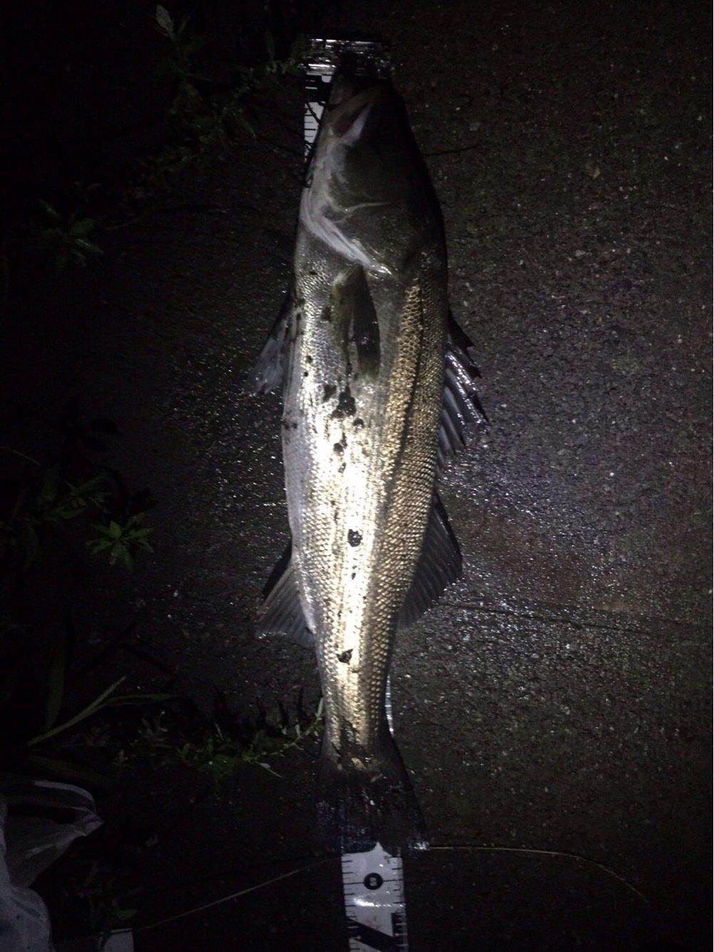 ヒルネさんの投稿画像,写っている魚はスズキ