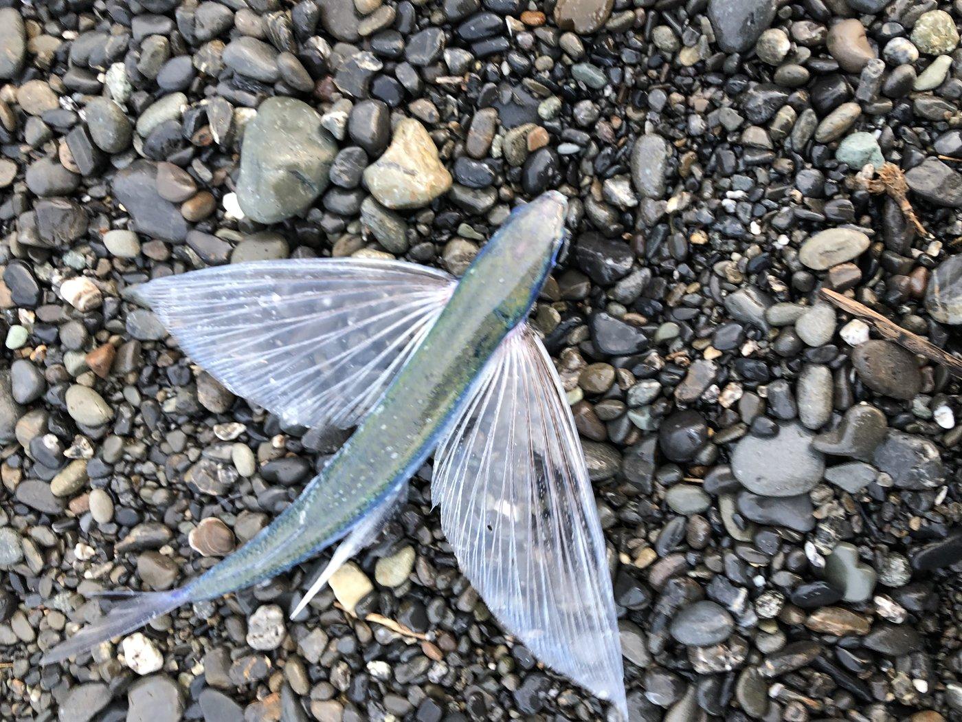 すずパパさんの投稿画像,写っている魚はハマトビウオ,
