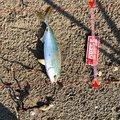 マサちゃんさんの兵庫県高砂市での釣果写真