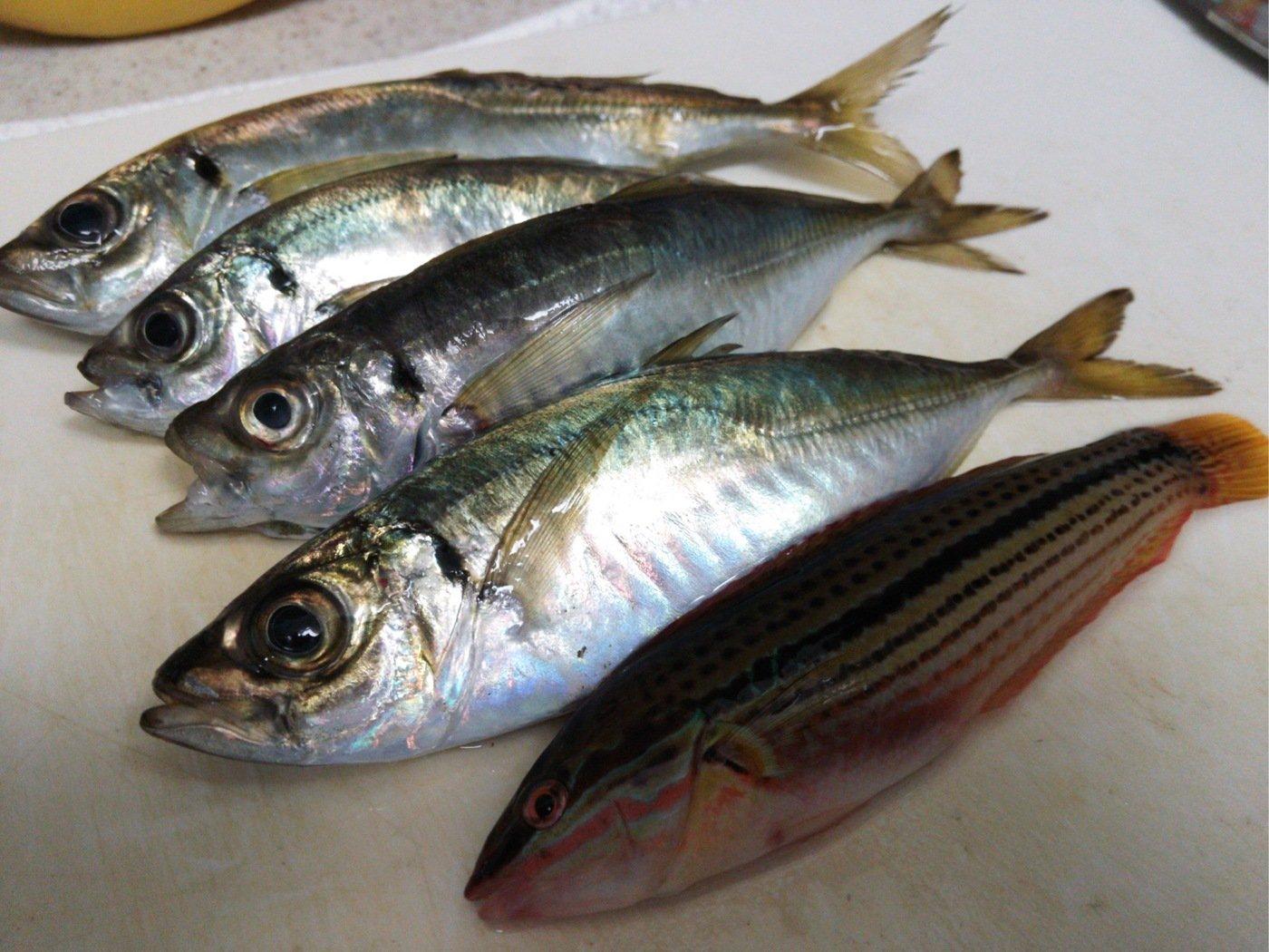 まるたさんの投稿画像,写っている魚はアジ