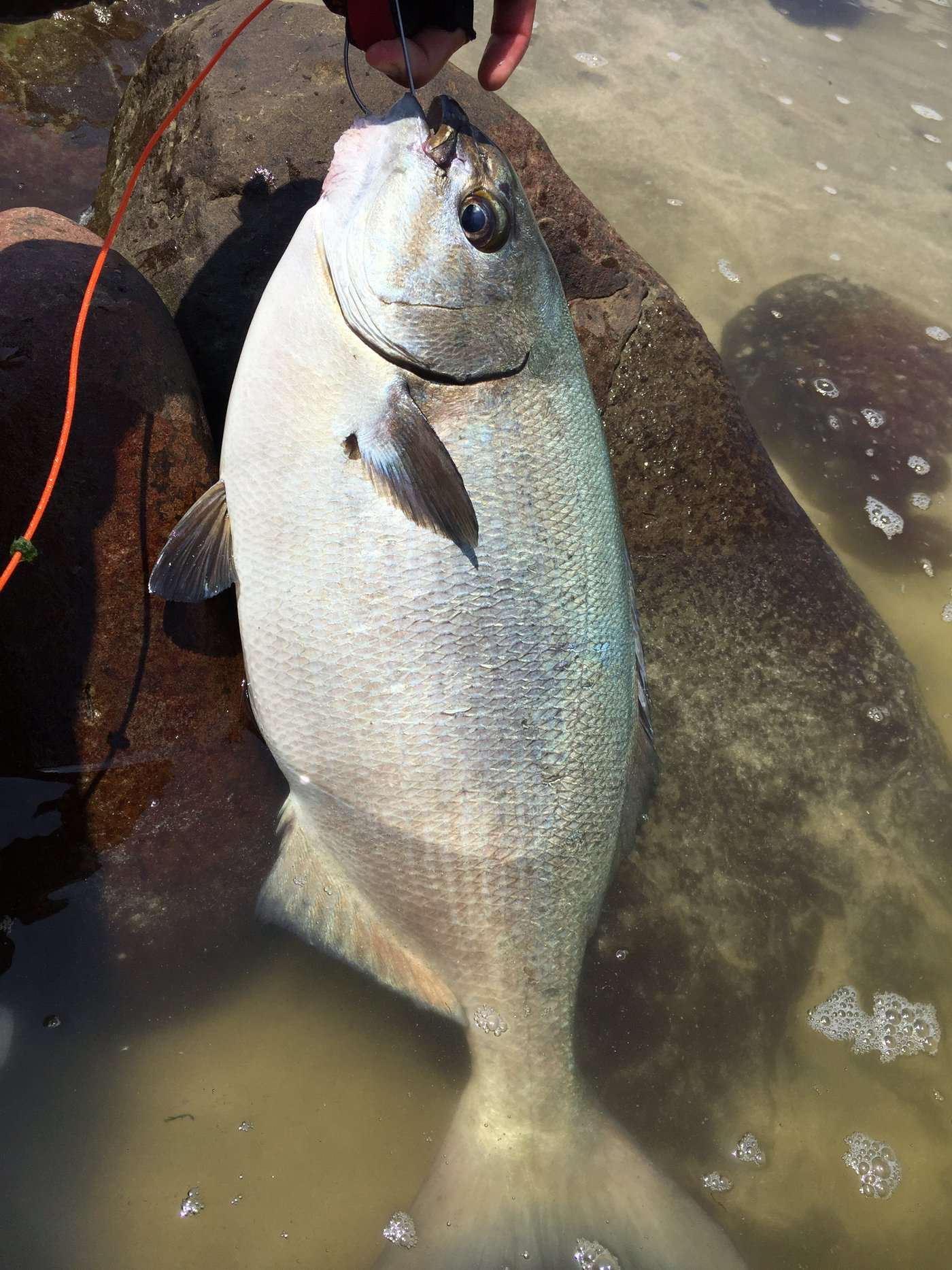 chiboxさんの投稿画像,写っている魚はイスズミ