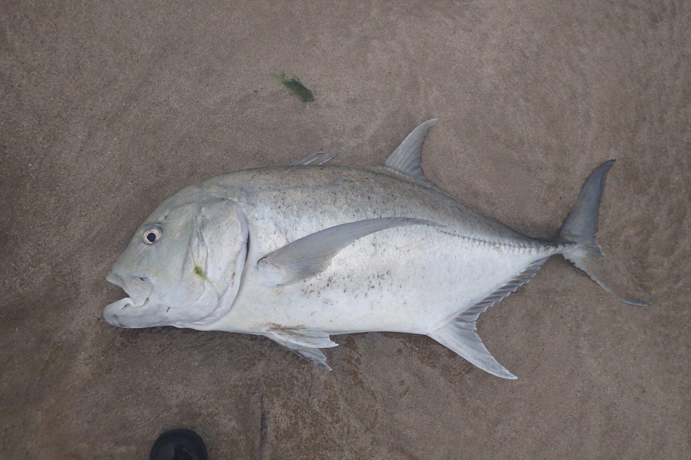 chiboxさんの投稿画像,写っている魚はロウニンアジ