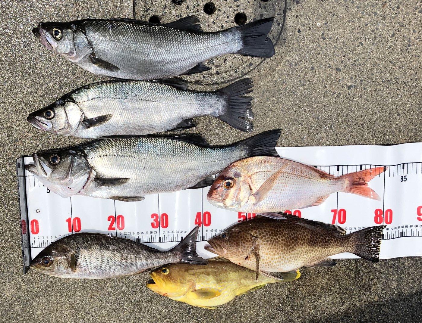 け〜たゴリラさんの投稿画像,写っている魚はヒラスズキ,