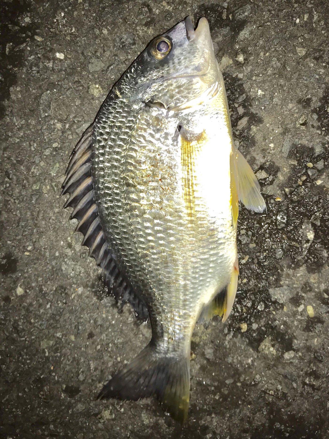 鮎さんの投稿画像,写っている魚はキチヌ