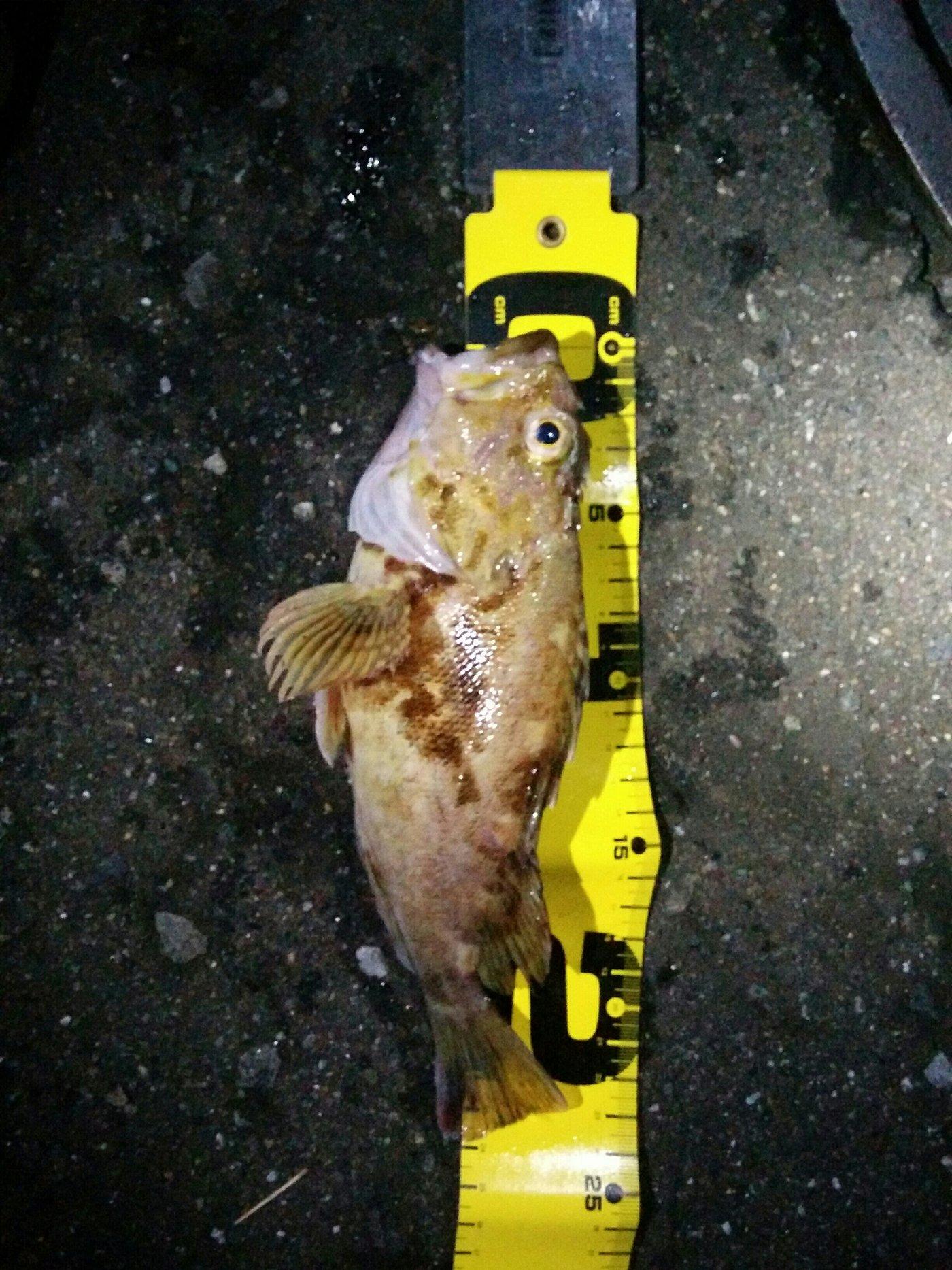 ひろヒロさんの投稿画像,写っている魚はカサゴ