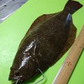 みっちぃさんの石川県かほく市でのヒラメの釣果写真