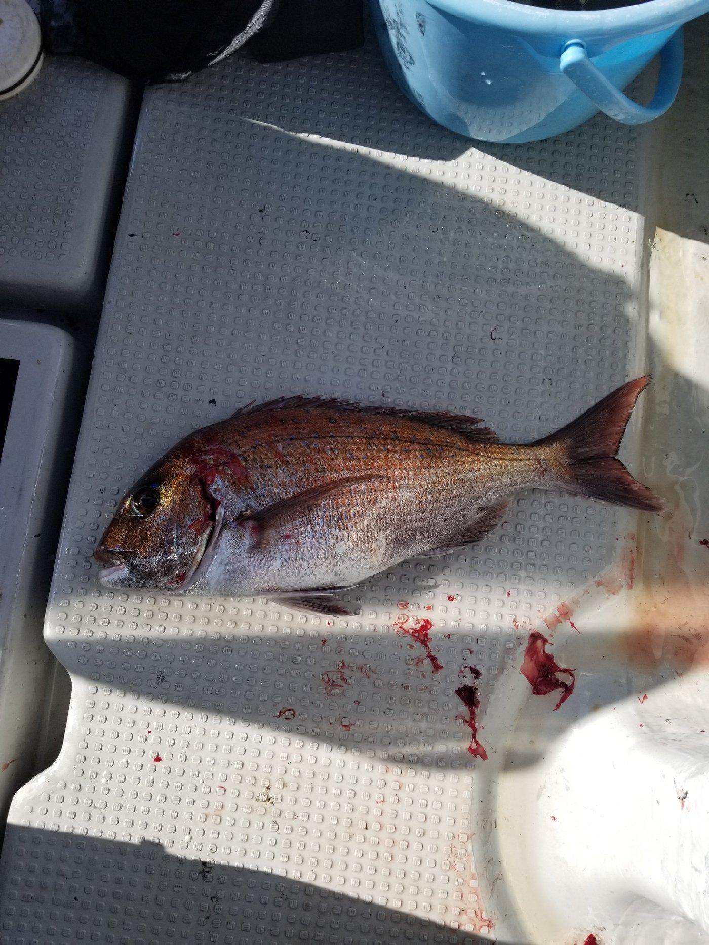 凜咲さんの投稿画像,写っている魚はマダイ