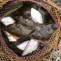 パルさんの北海道恵庭市での釣果写真