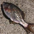 さかもとっぷけいさんのウミタナゴの釣果写真