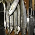 BK翔さんの愛媛県越智郡でのカマスの釣果写真