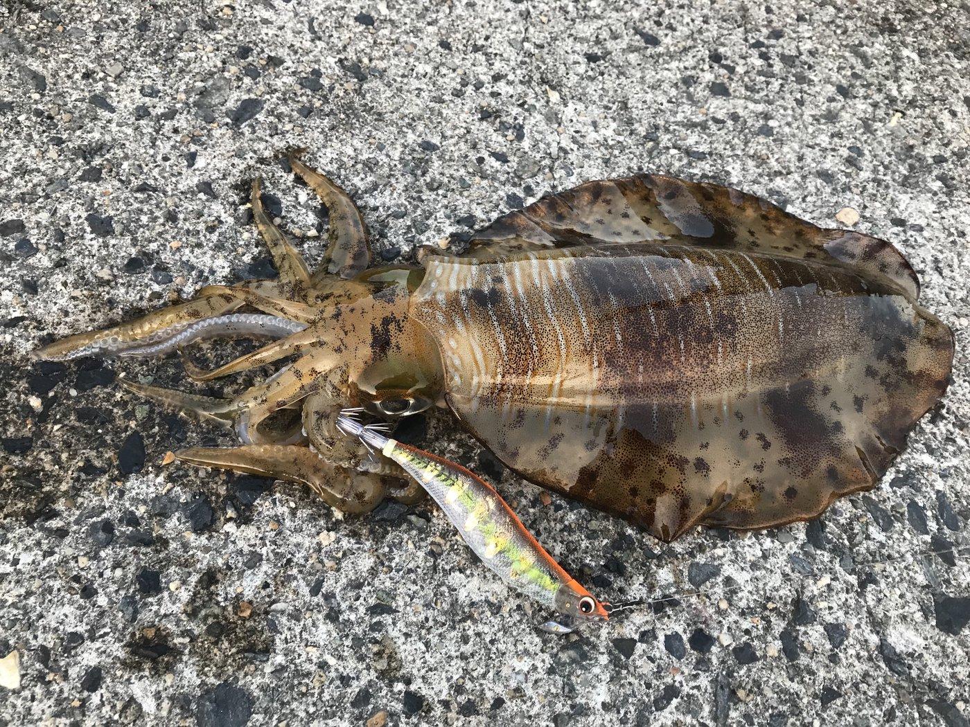 BUCCHI3さんの投稿画像,写っている魚はアオリイカ