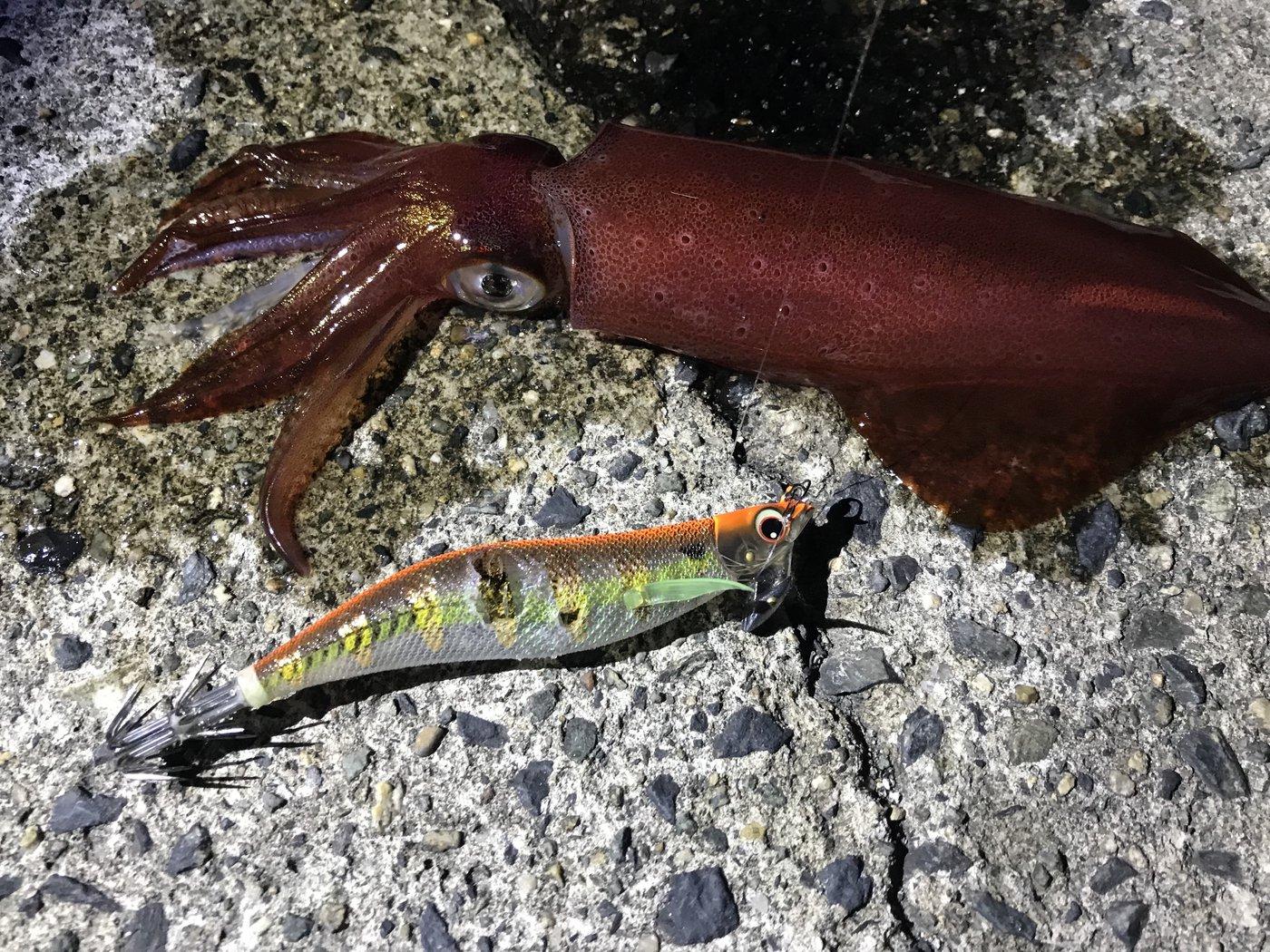 BUCCHI3さんの投稿画像,写っている魚はケンサキイカ