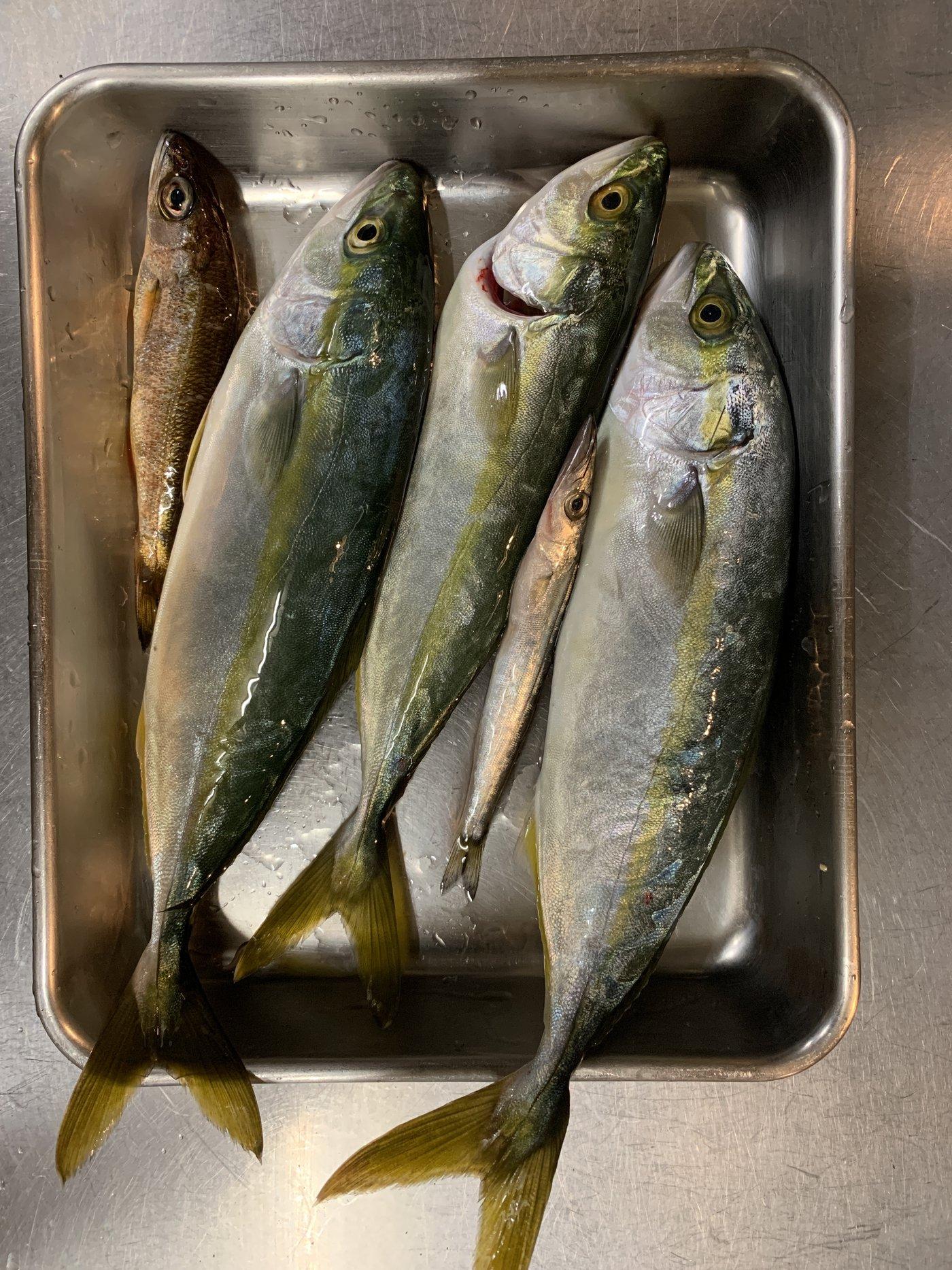 kohalさんの投稿画像,写っている魚はブリ