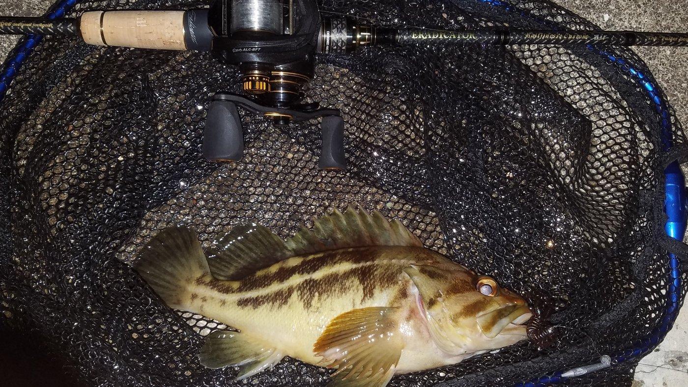 かっつんぷぅさんの投稿画像,写っている魚はシマゾイ