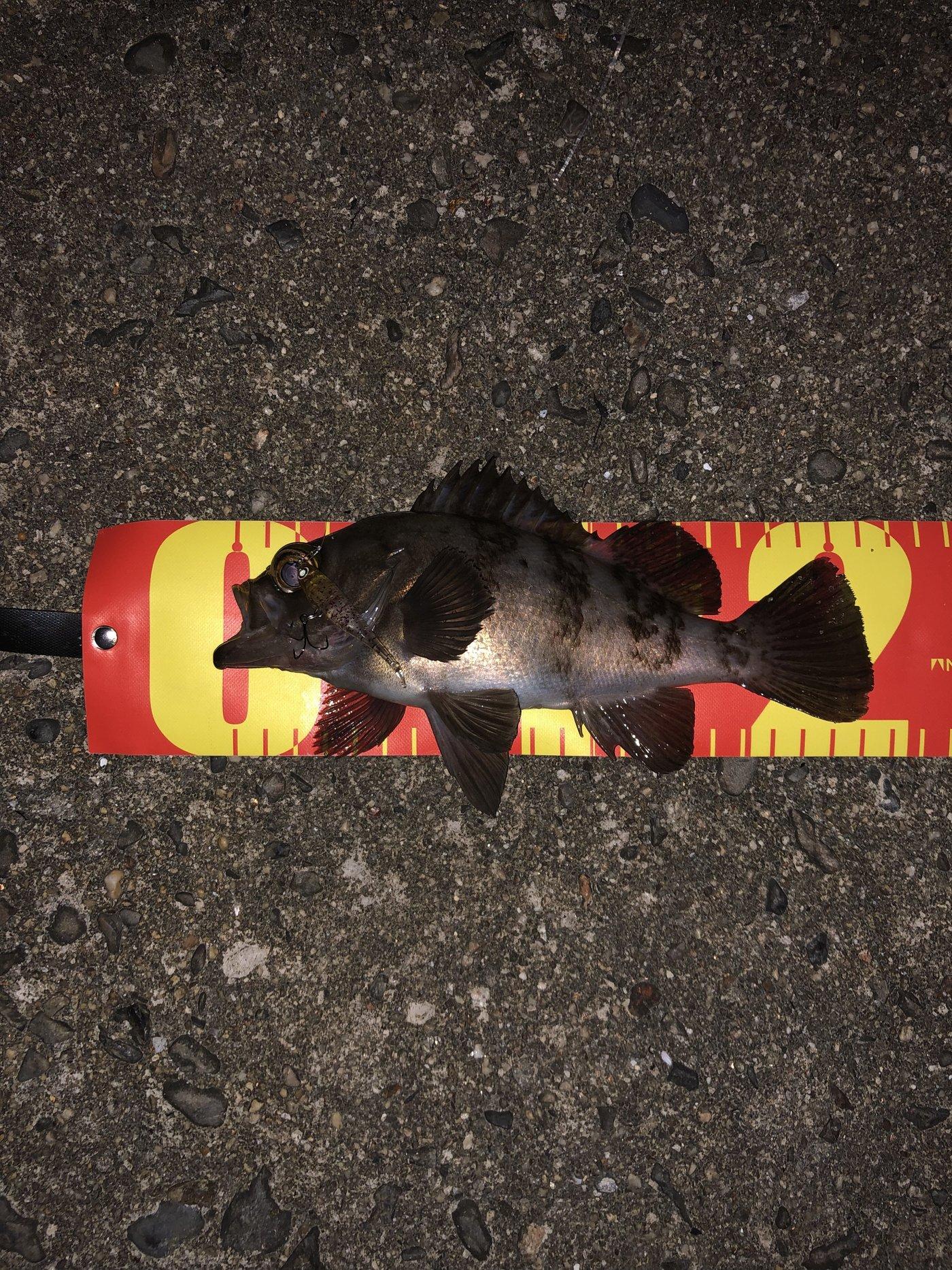 ヴァインさんの投稿画像,写っている魚はメバル