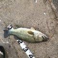 にしかわさんの滋賀県近江八幡市での釣果写真