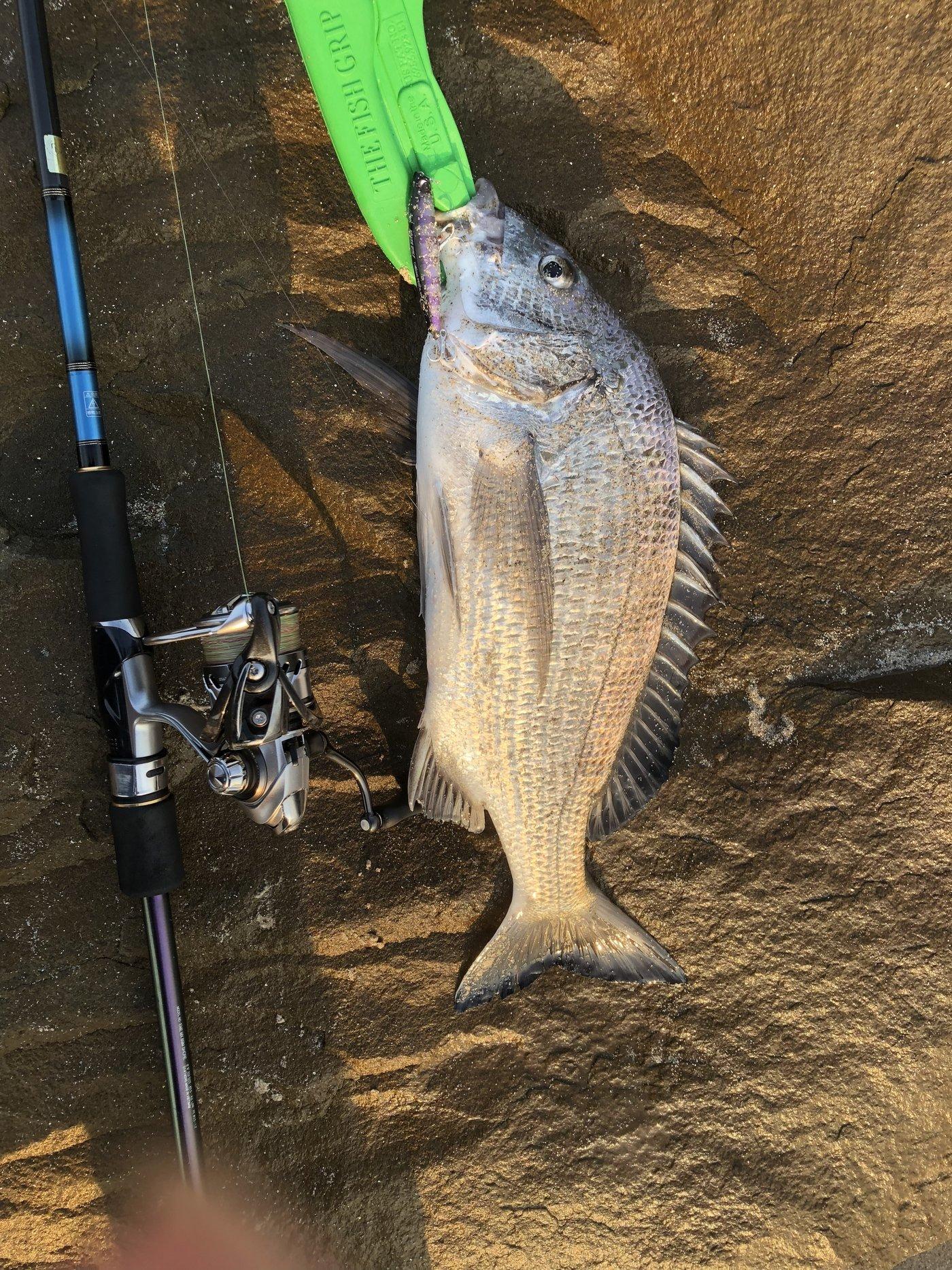 ヨウスケさんの投稿画像,写っている魚はクロダイ