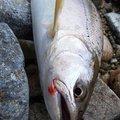 GKもときっくす さんの岐阜県でのヤマメの釣果写真